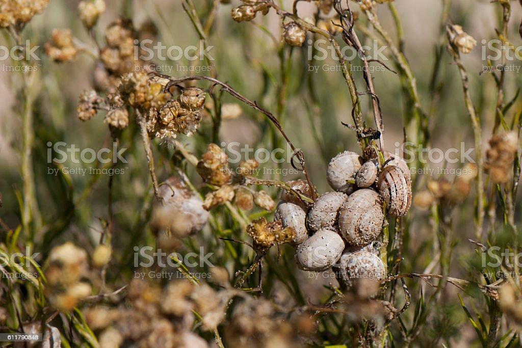 Snail - Theba pisana stock photo