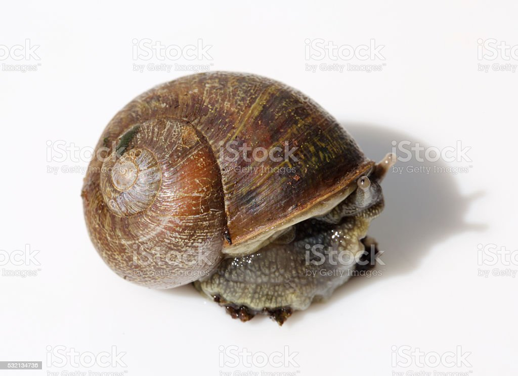snail trying to hide in its shell stock photo