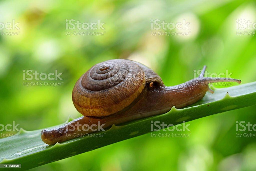 Snail walking on a leaf of aloe vera stock photo