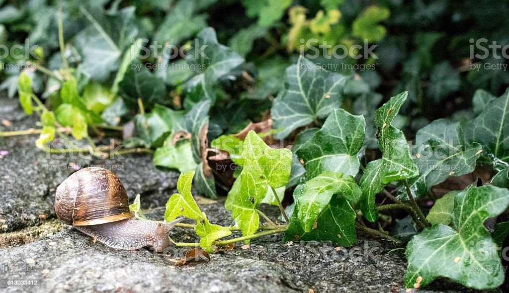 snail with brown house stock photo
