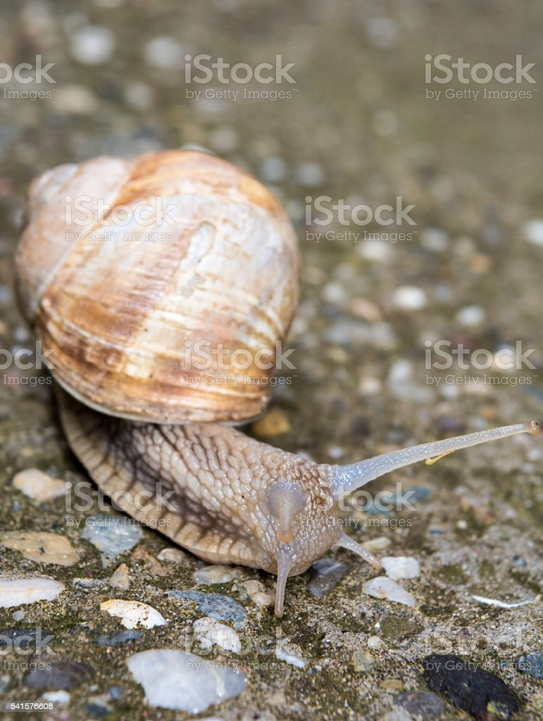 Snail with horns stock photo