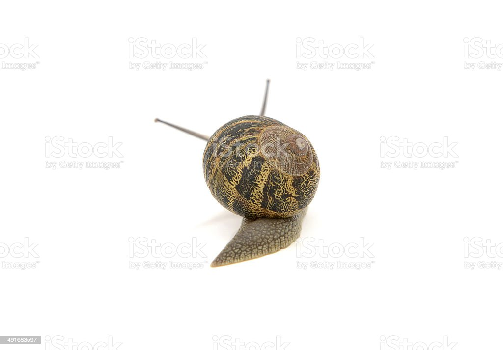 Snail with stripey shell slides away, tentacles visible above it royalty-free stock photo