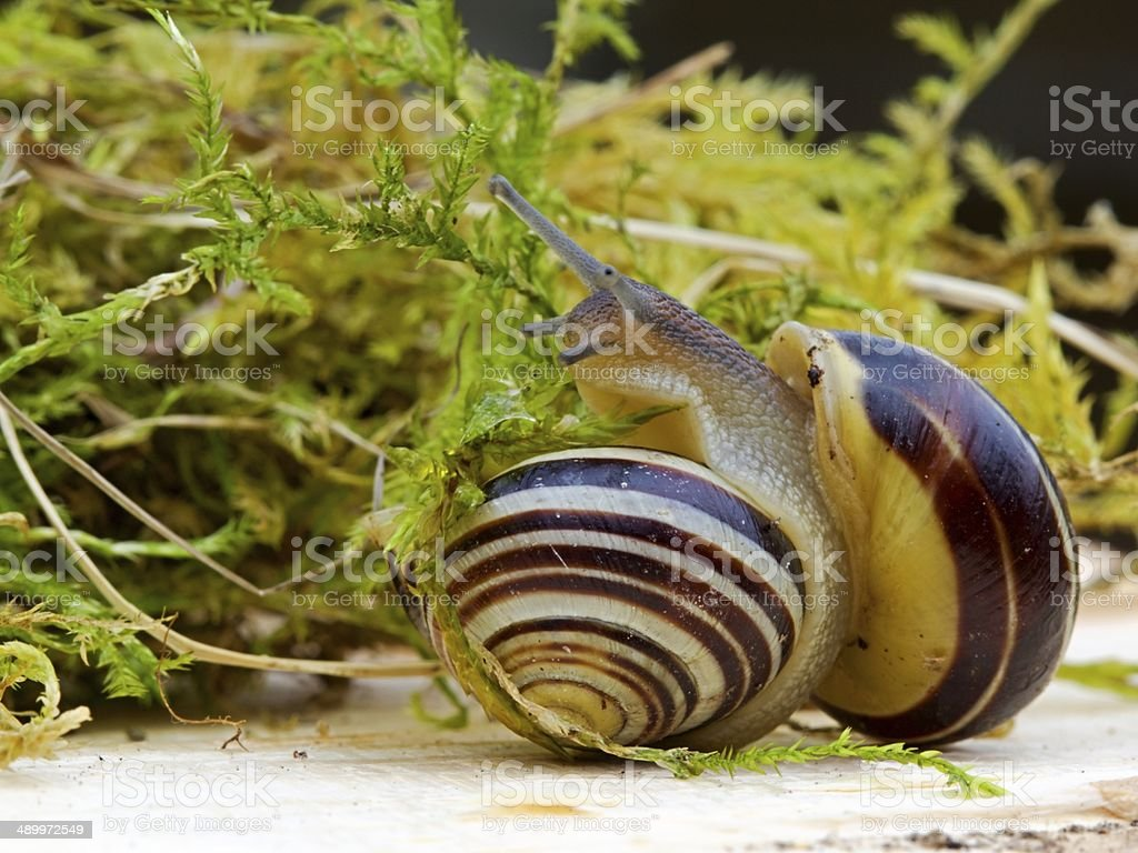 Snails in the grass royalty-free stock photo