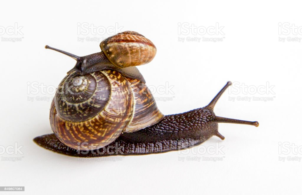 Snails isolated on white background. stock photo