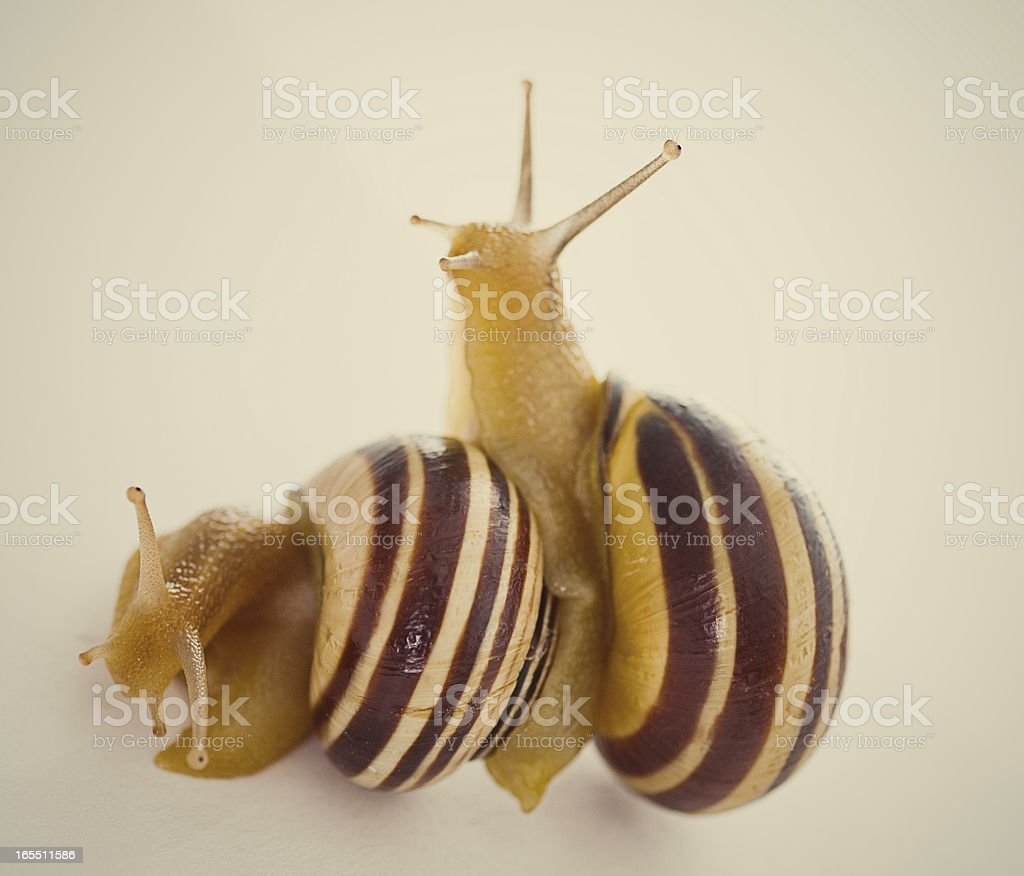 Snail's Mating royalty-free stock photo