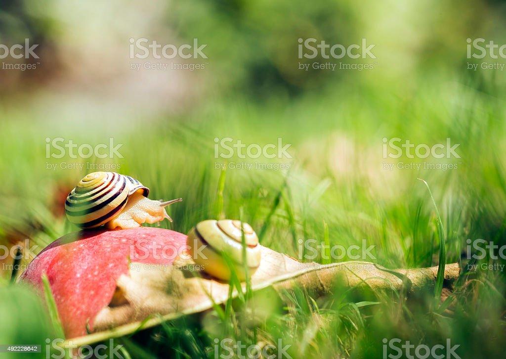 Snails on an apple stock photo