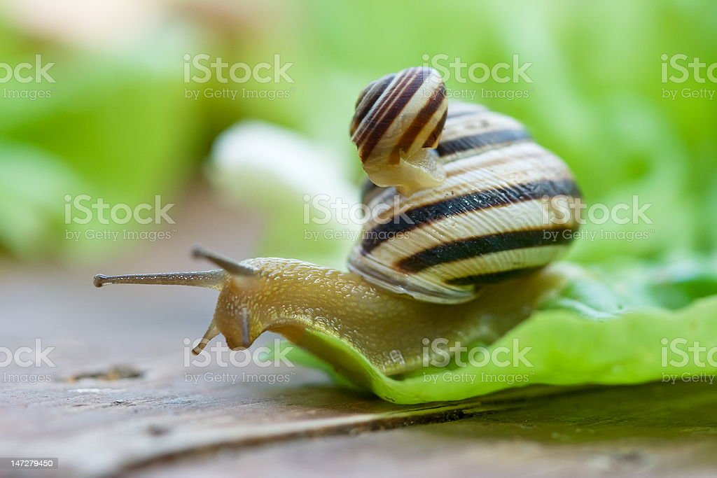 Snails on lettuce royalty-free stock photo