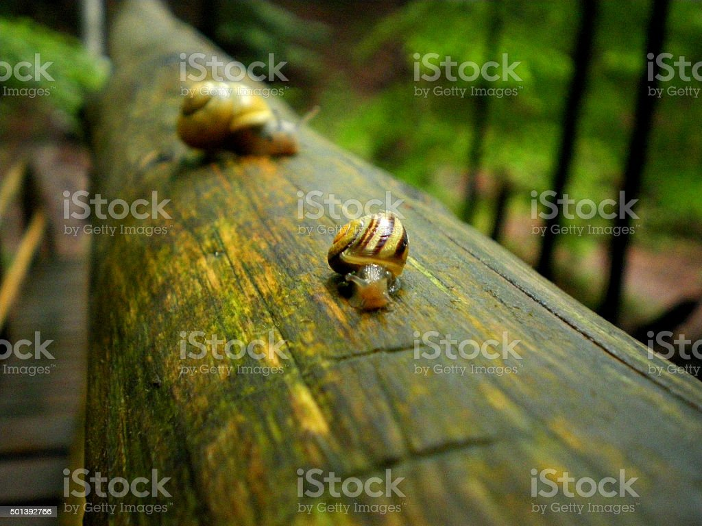 Snails on wet wooden part in forest stock photo