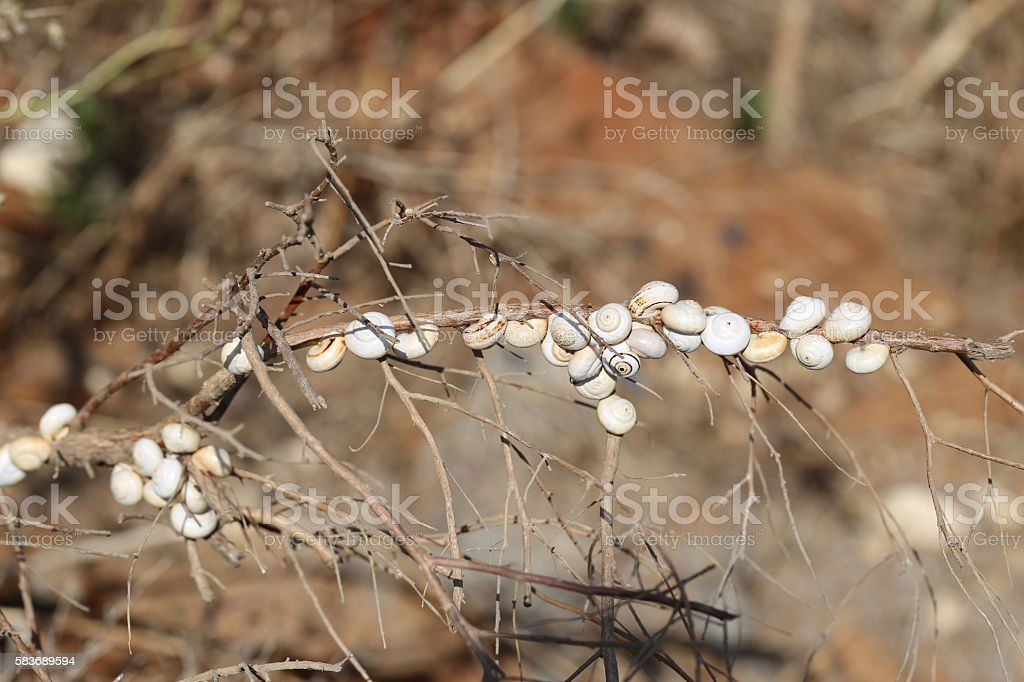 Snails Sticking to a Stalk stock photo