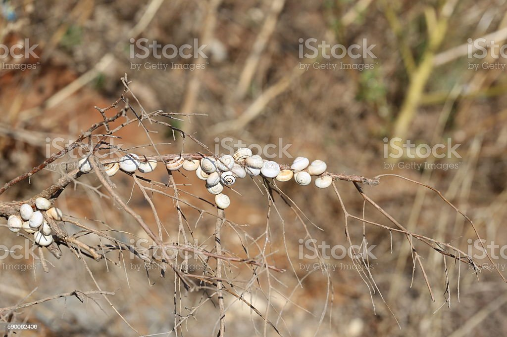 Snails Sticking to a Stalk. stock photo