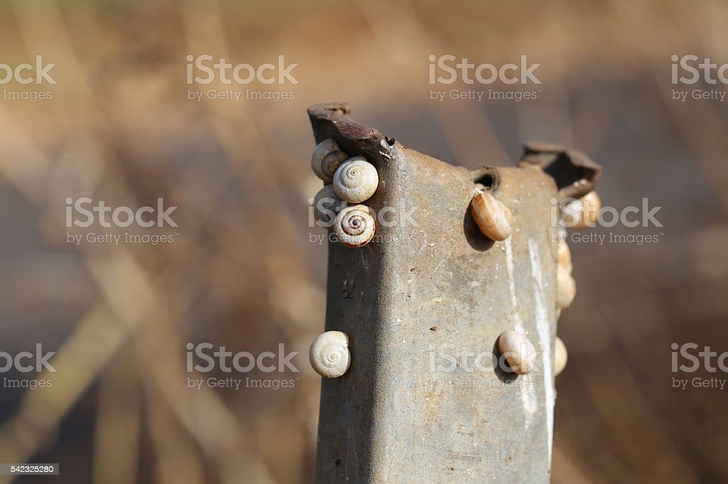 Snails Stuck to a Rusty Rod stock photo