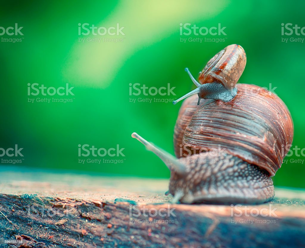 Snails Traveling stock photo