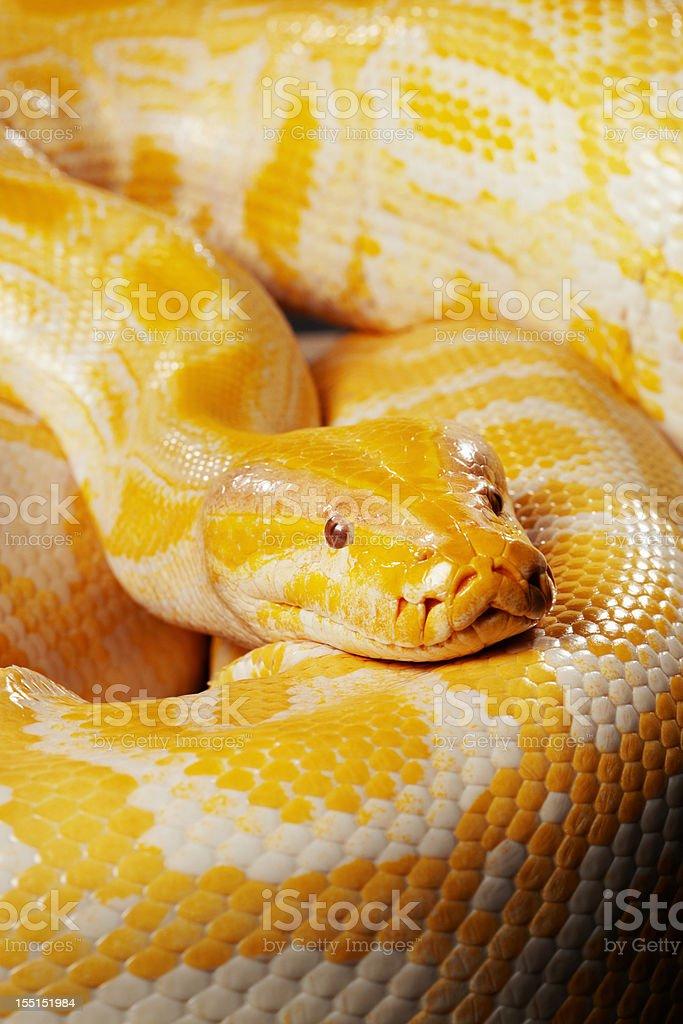 Snake - Albino burmese python royalty-free stock photo