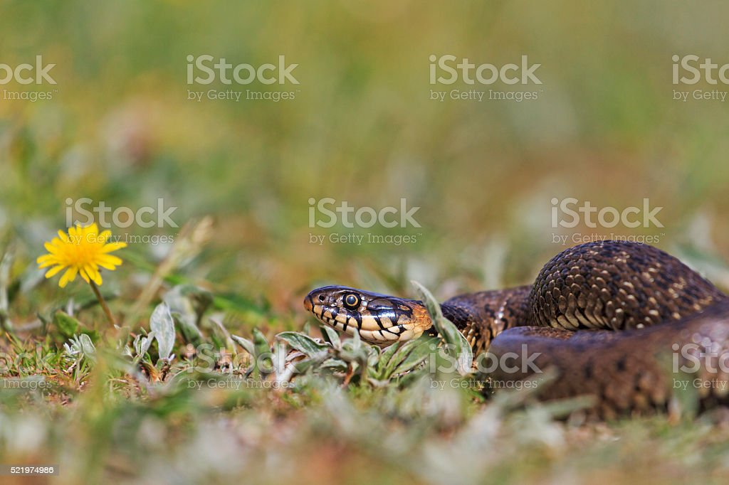 snake and flower stock photo