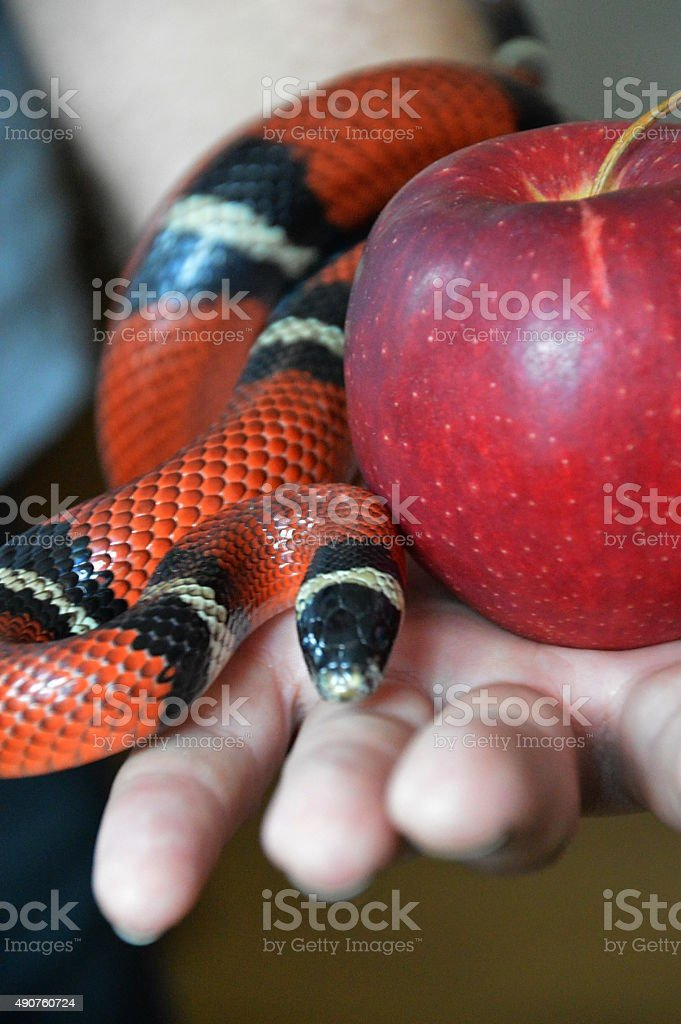 snake and forbidden fruit stock photo