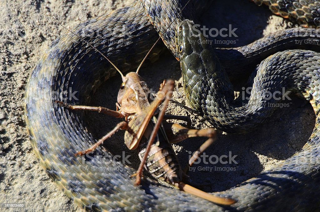 snake and grasshopper royalty-free stock photo