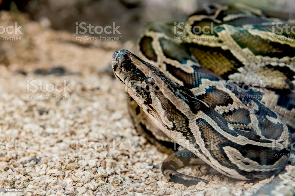 snake and serpent, long limbless reptile animal stock photo