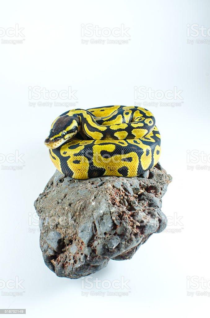 snake ball python stock photo