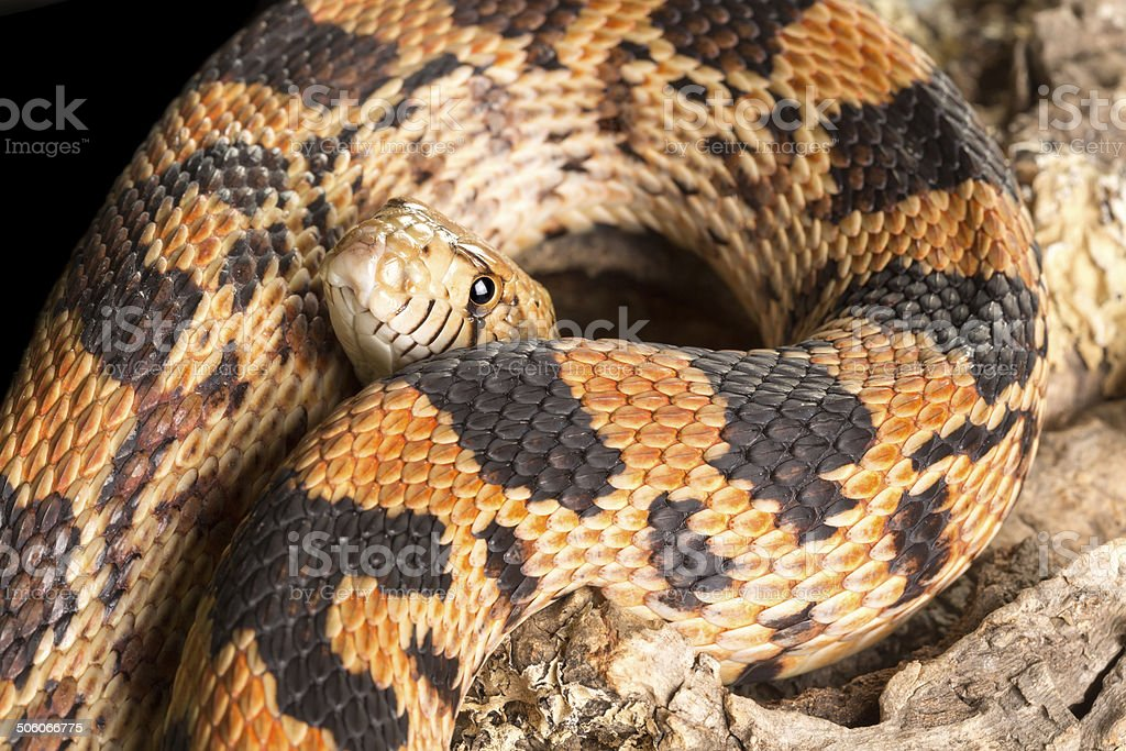 Snake body and head stock photo