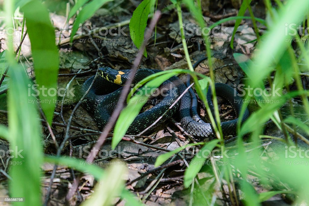 Snake cautiously curled up in the grass stock photo