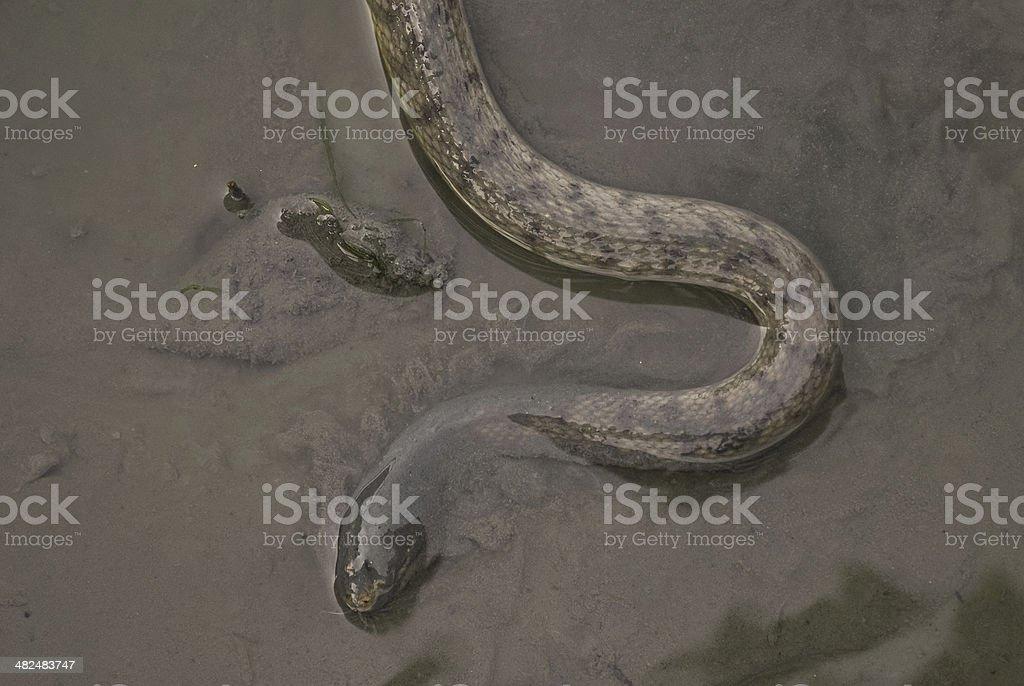 snake cerberus rynchops in mangrove water, Thailand stock photo