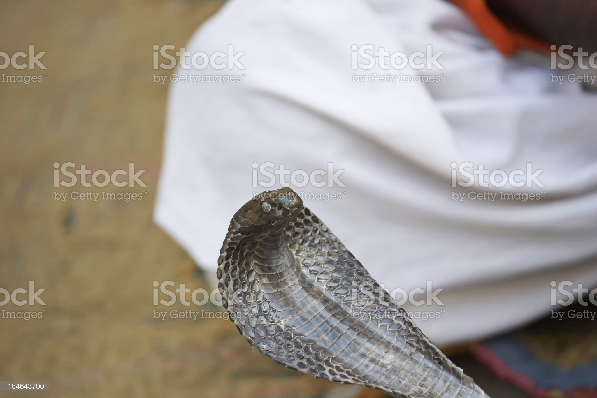 Snake charmer and cobras royalty-free stock photo