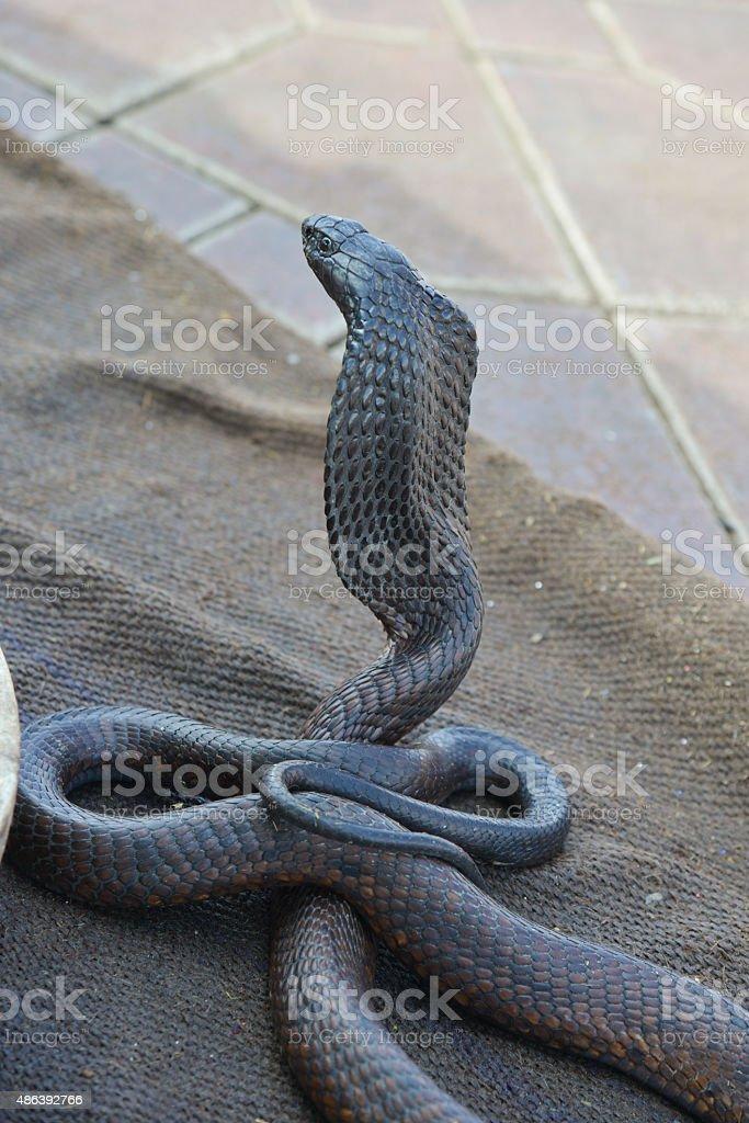 Snake charmer with Cobra-Morocco stock photo