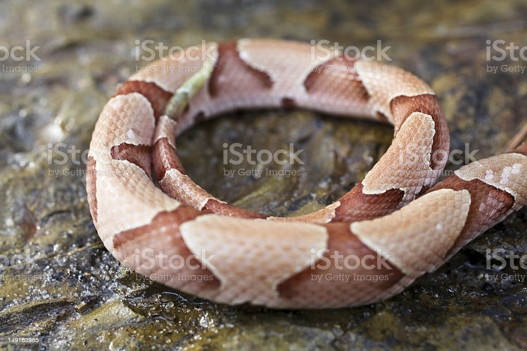 Snake Coil royalty-free stock photo