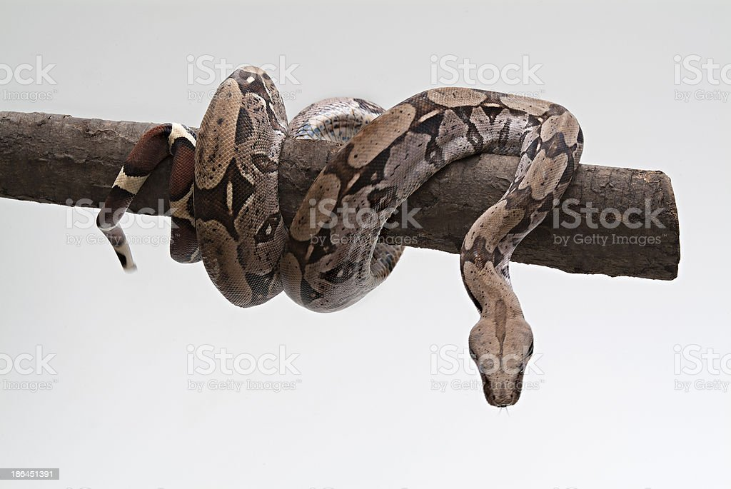 snake coiled on tree trunk stock photo