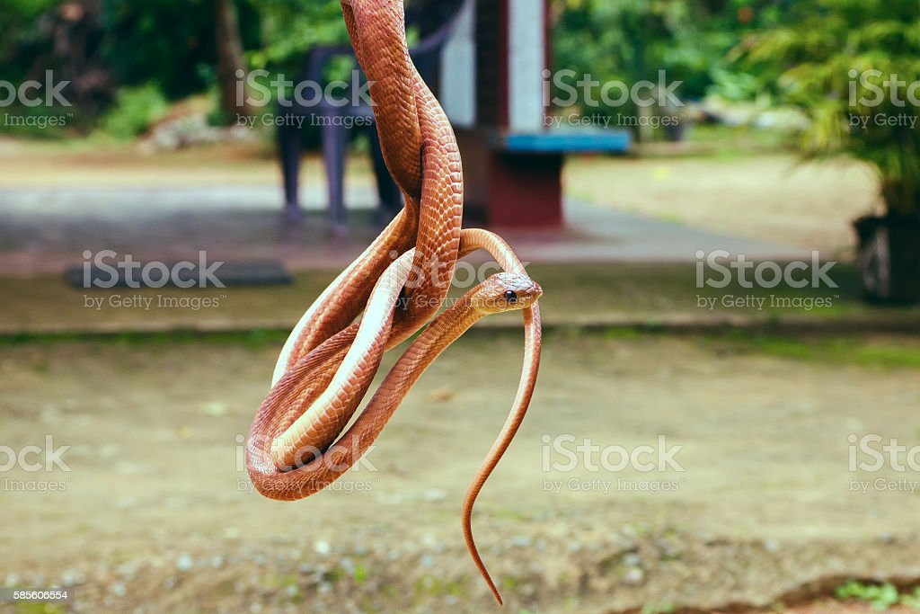 Snake colombo Wolf or Flowery stock photo