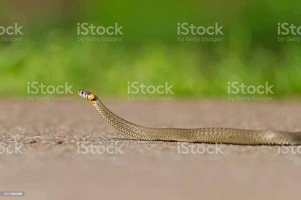 snake crawling on paved road stock photo