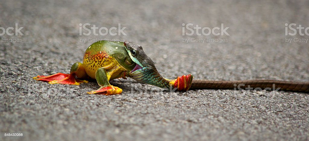 Snake Eating Frog stock photo