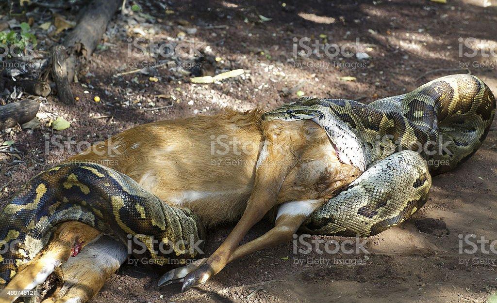 Snake eats deer stock photo