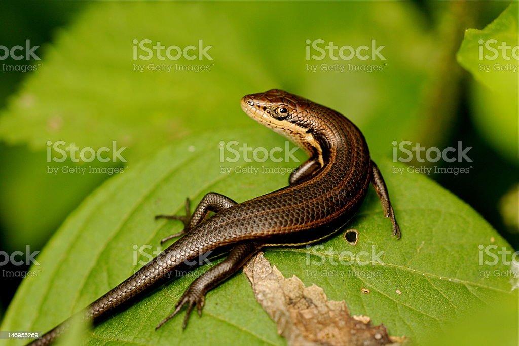 Snake Eyed Skink stock photo