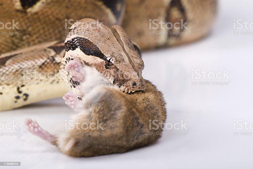 Snake feeding on maouse royalty-free stock photo