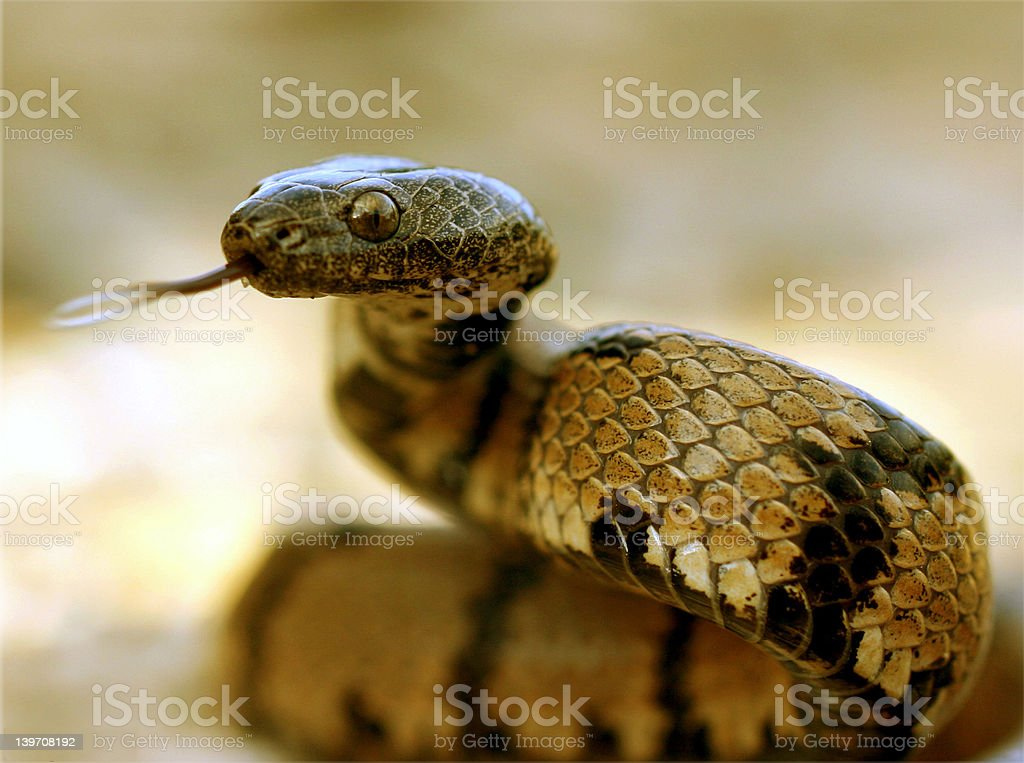 Snake flicking its toung stock photo