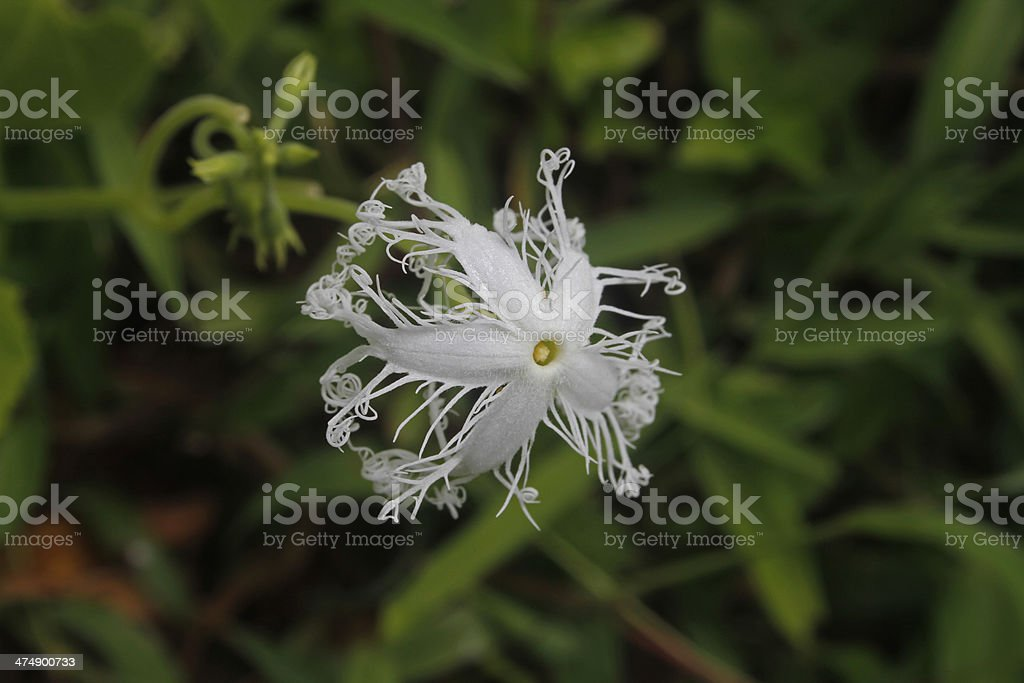 Snake gourd Trichosanthes stock photo