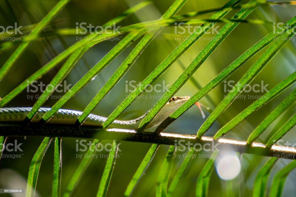 Snake (Chrysopelea ornata, Golden tree snake) green color on a tree in the garden stock photo