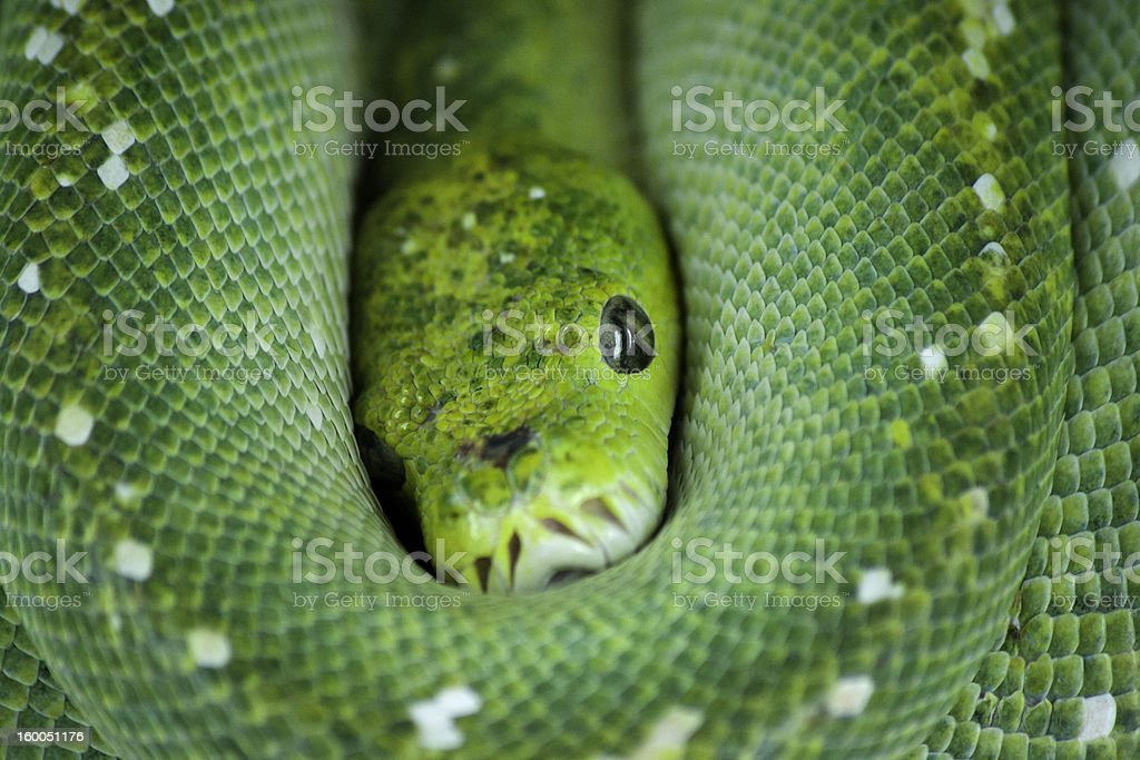 snake green royalty-free stock photo