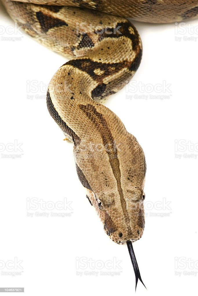 Snake hissing stock photo