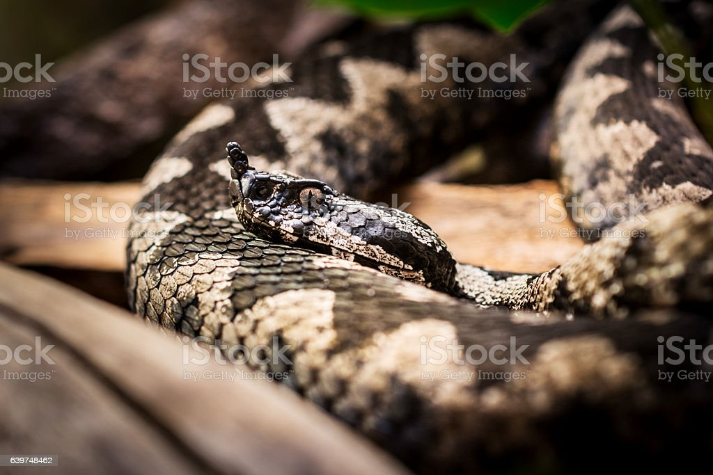 Snake - horned viper close-up stock photo