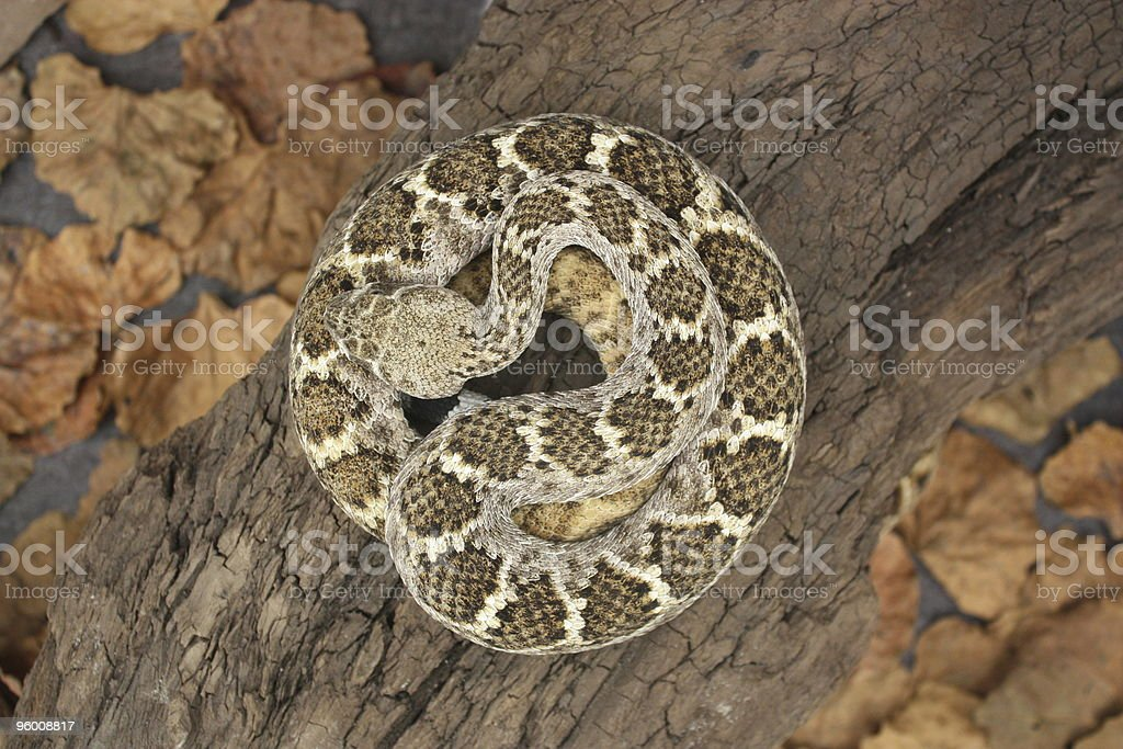 Snake in a Circle stock photo