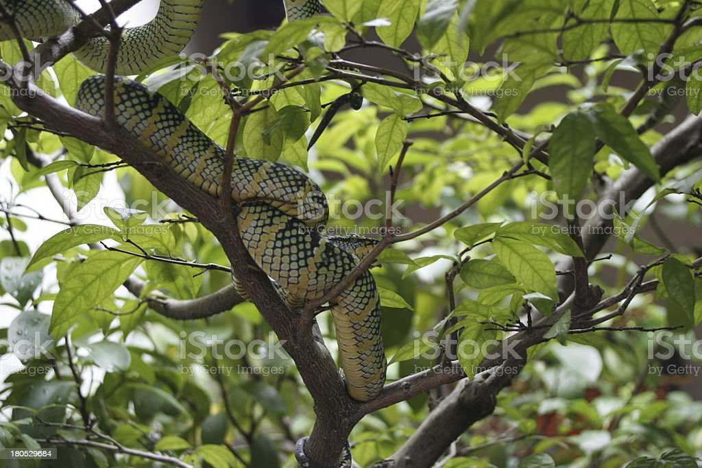 Snake in a tree royalty-free stock photo