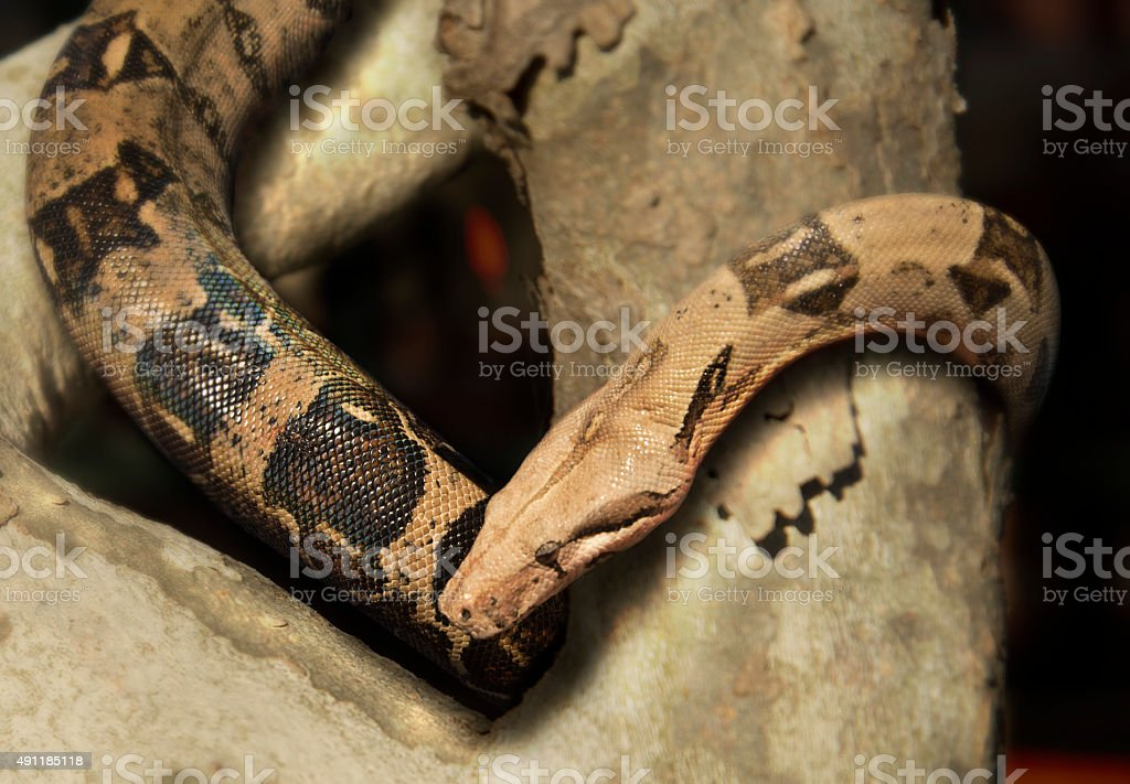 Snake in a Tree stock photo