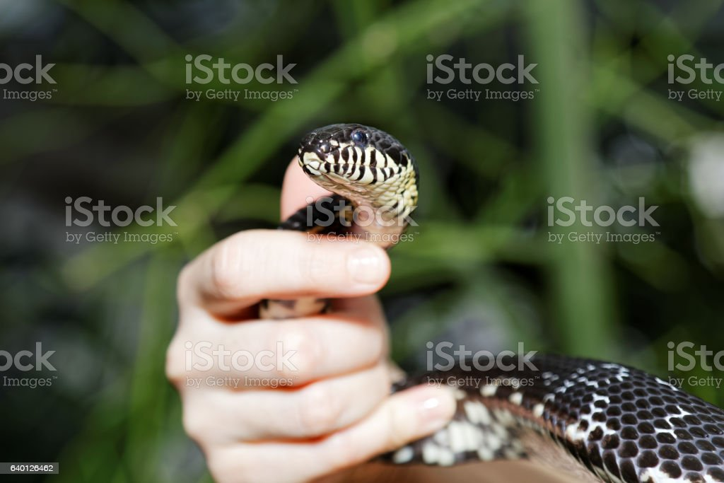 Snake in human hands on blurred grass background stock photo