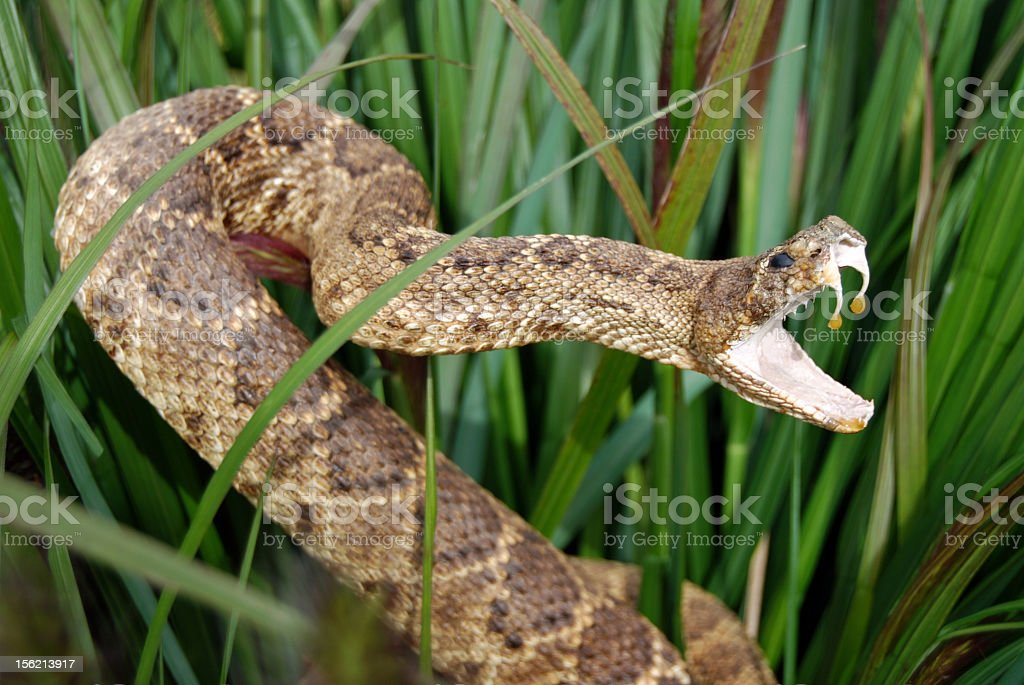 Snake in long grass with mouth open showing venom stock photo
