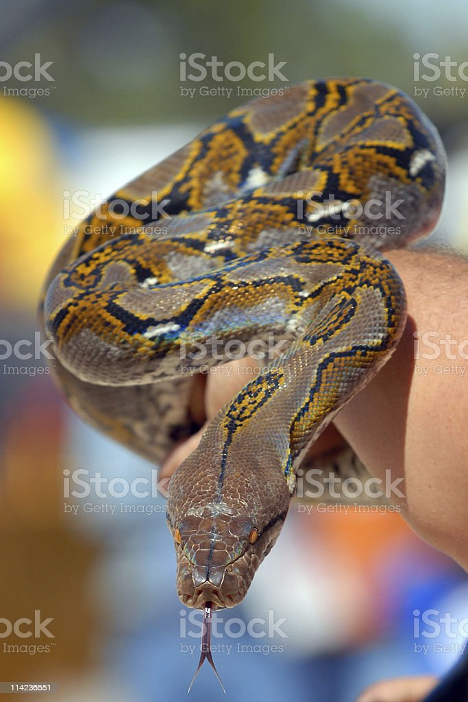 snake in my arm stock photo