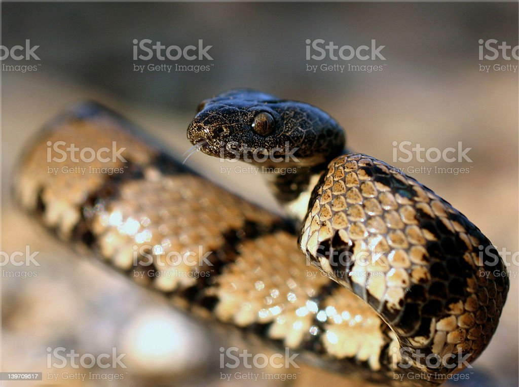 Snake in striking position 2 stock photo