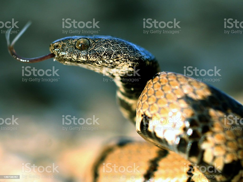 Snake in striking position royalty-free stock photo