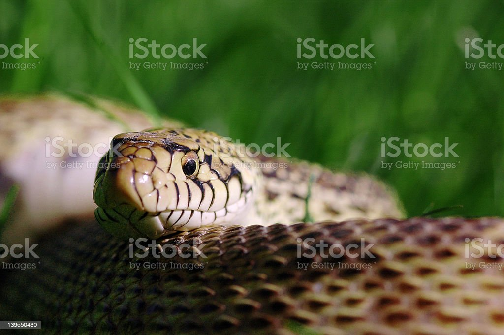 Snake In th Grass stock photo